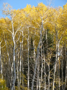Aspens, picture by Cece